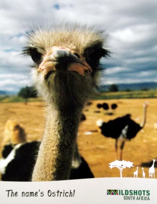 Picture of an Ostrich with Major Attitude