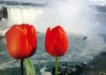 2 Tulips in front of Niagara Falls
