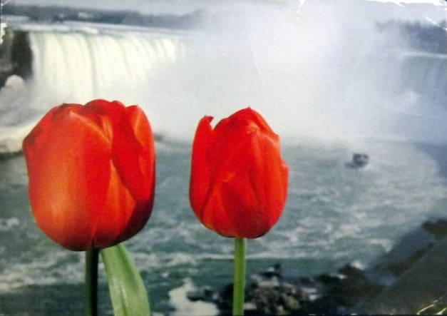 2 Tulips in front of Niagara Falls