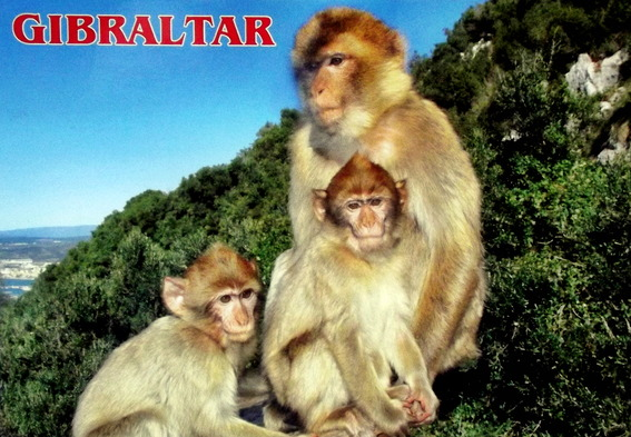 A family of Barbary Macaques