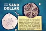 Pictures of sand dollars