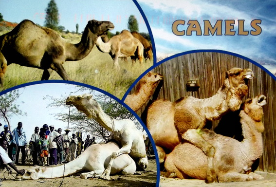 Various images of camels humps